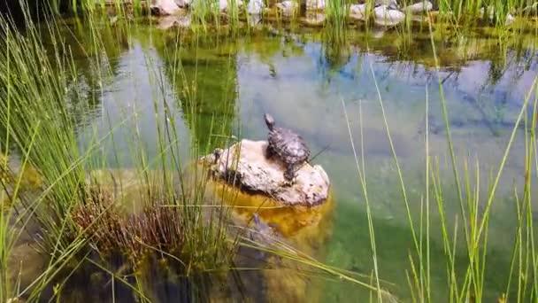 vodní želví kámen v jezírku.