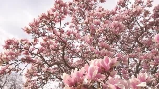 Lahodné krásné zářivé růžové magnólie květiny na pozadí modré oblohy.