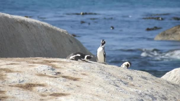 South Africa, Western Cape. African penguins. Sitting on a stone against the background of the ocean.