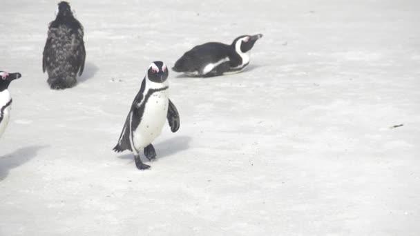 Jižní Afrika, Západní mys. Afričtí tučňáci, jeden se prochází po pláži. Zpomalený pohyb.