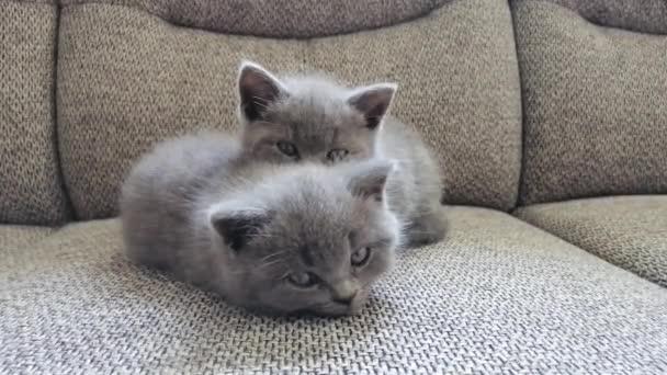 Két kiscica pihen a kanapén. Vicces kis cica.