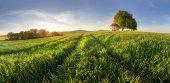 Fotografie Zelená pole mladé pšenice na jaře