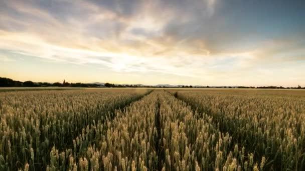 Pšeničné pole při západu slunce - časová prodleva