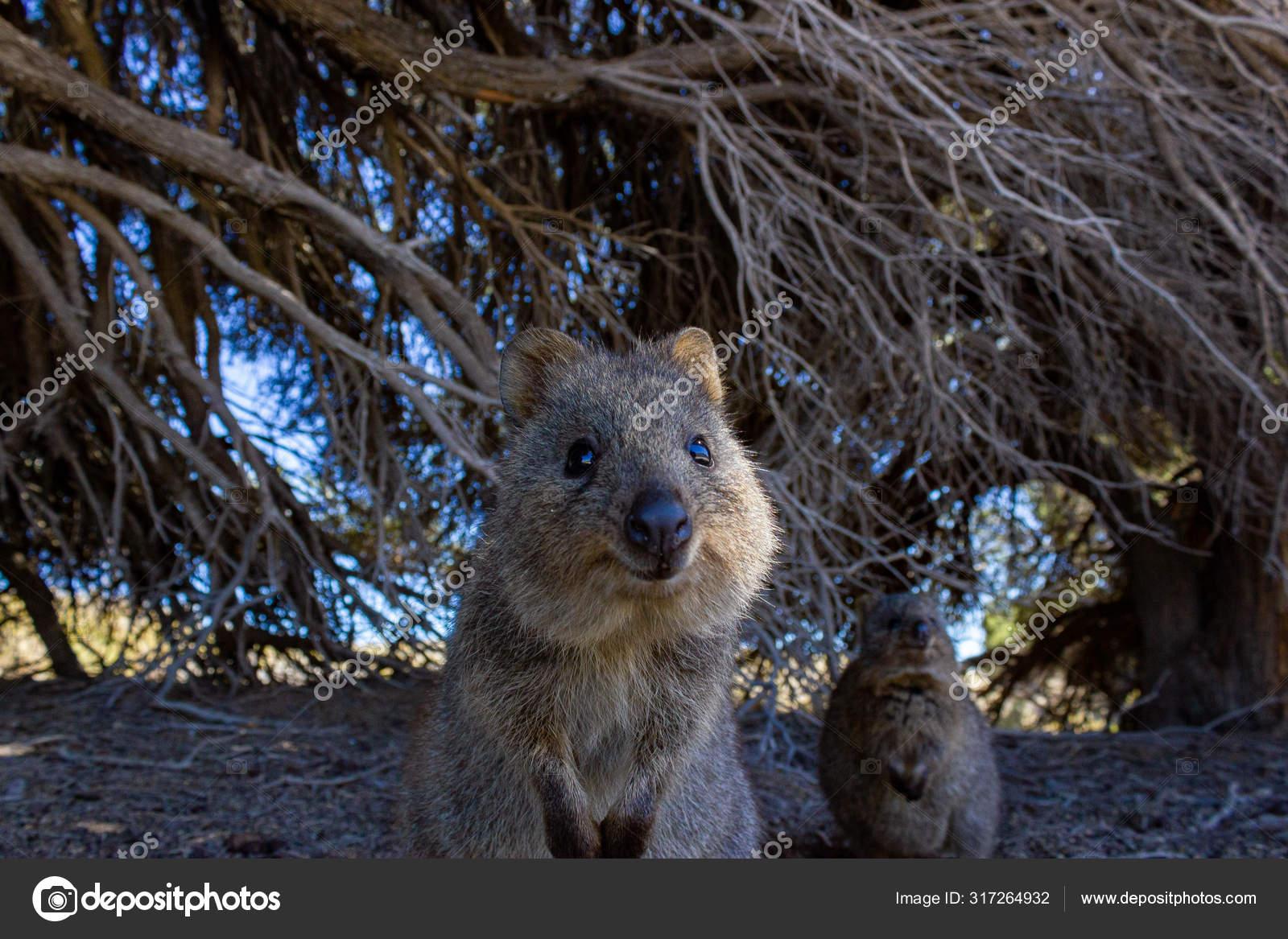 Australian quokka on rotnest island, perth, australia ...