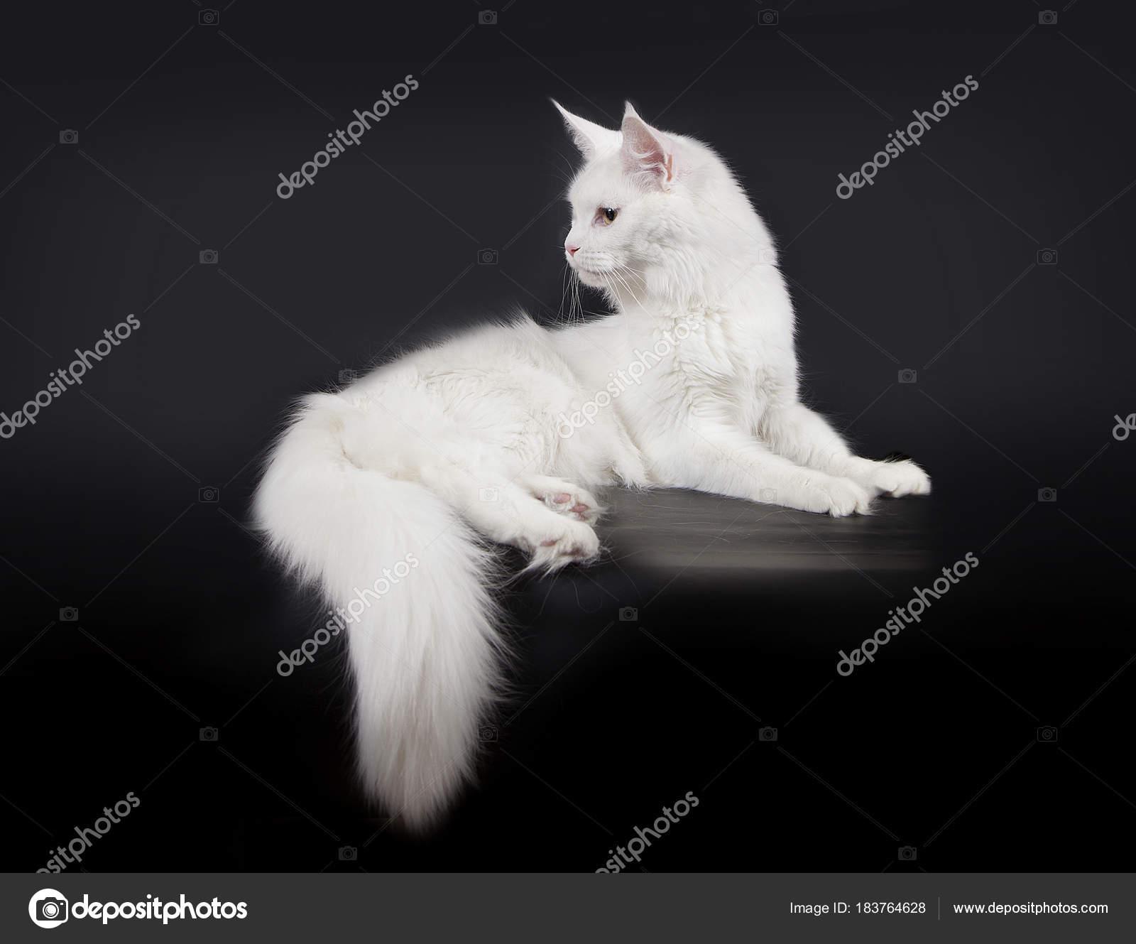 Biały Kot Maine Coon Na Czarnym Tle Zdjęcie Stockowe Moredix