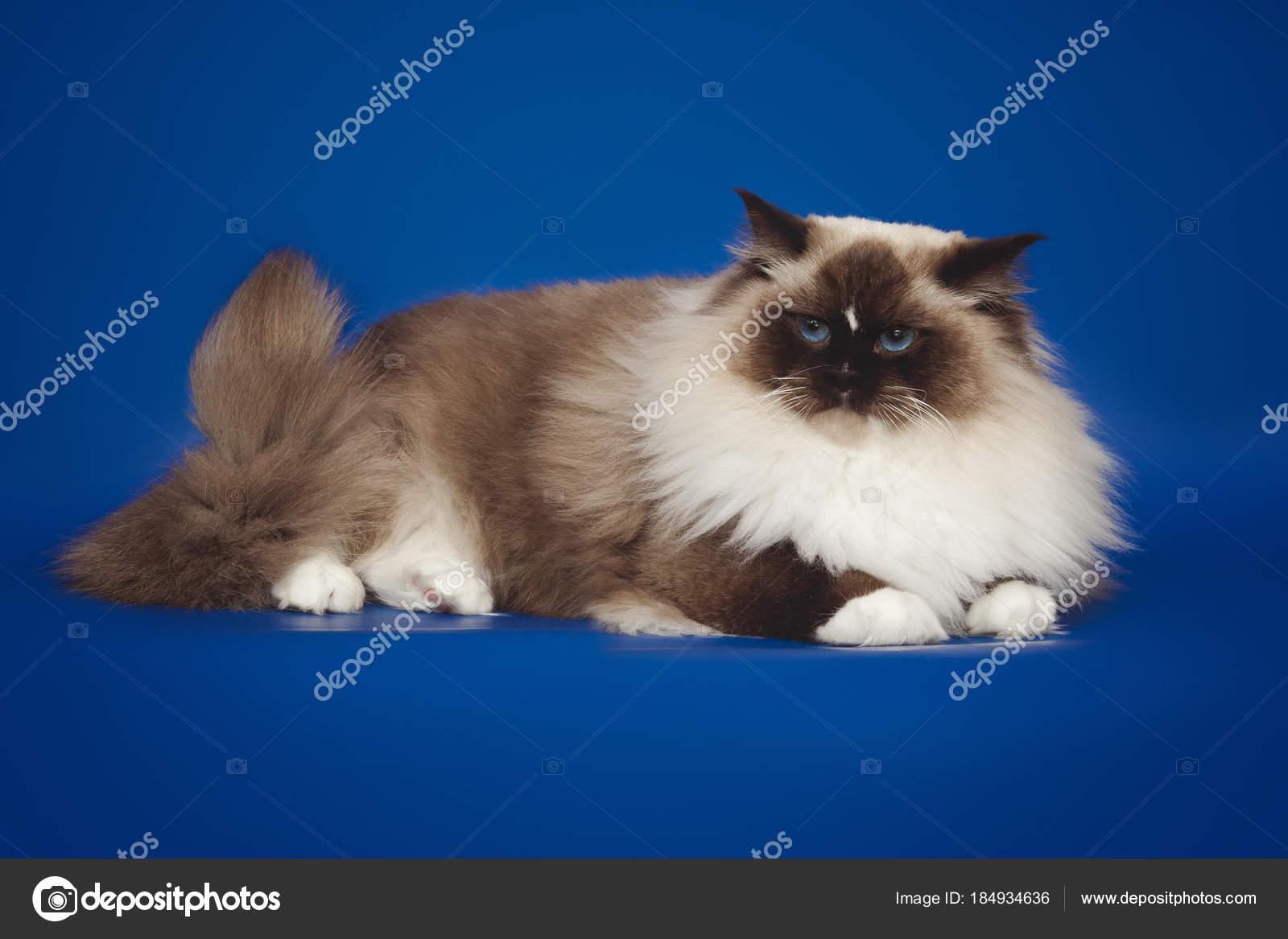 Puszysty Piękny Biały Kot Ragdoll Pozowanie Leżącego Na Tle Studio