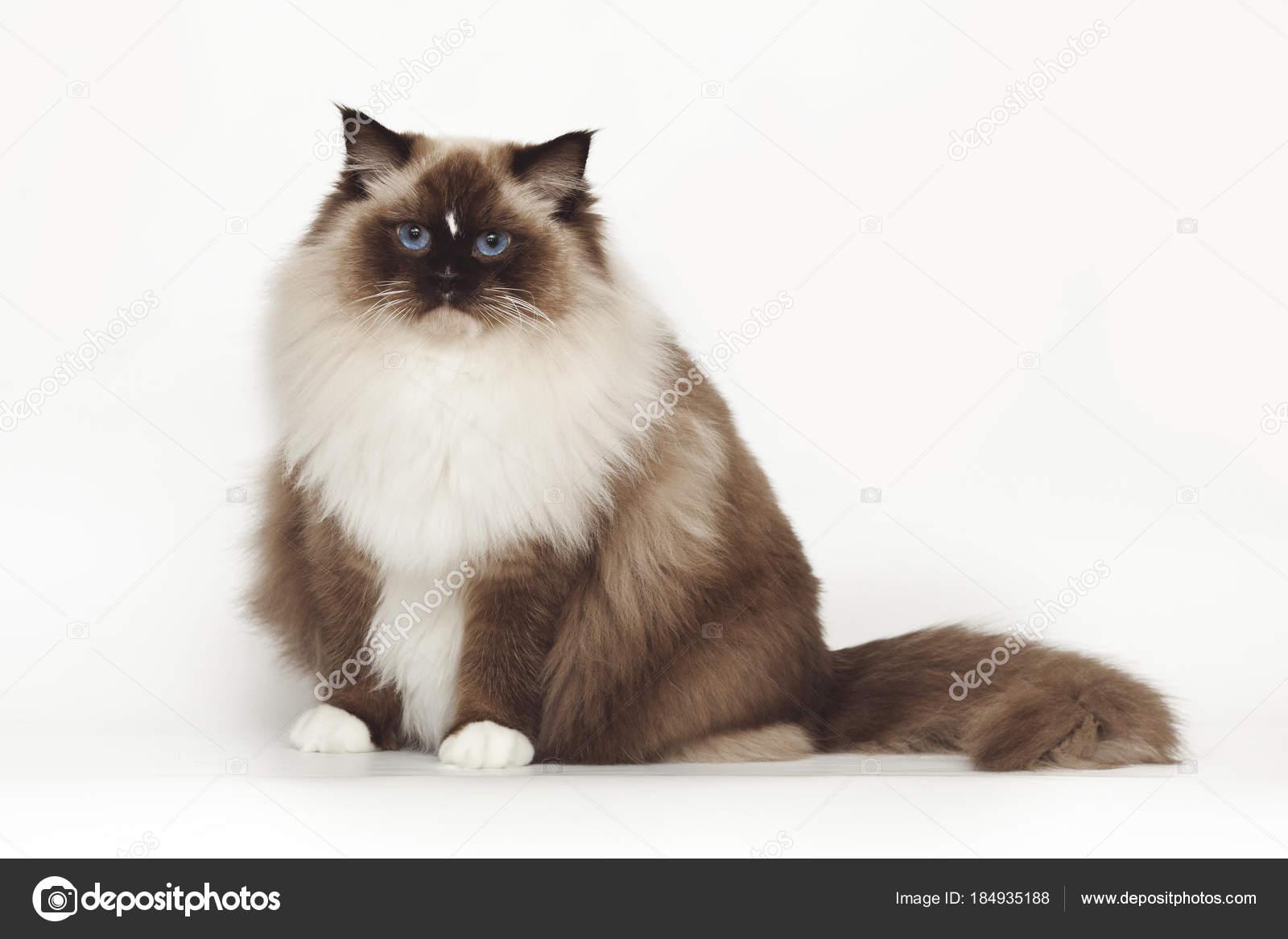 Puszysty Piękny Biały Kot Ragdoll Z Niebieskimi Oczami Siedząc Na
