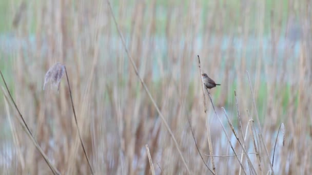 an Willow warbler singing the water on the reeds