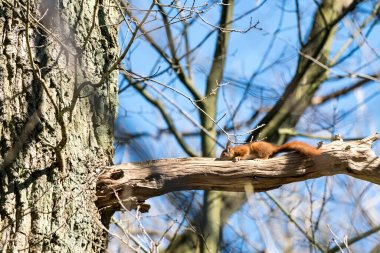 In a tall tree in the forest, a squirrel sits on a branch of the tree