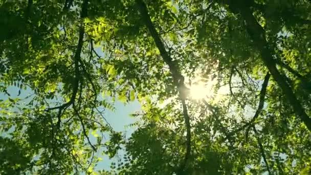 Felnéz a fák tetejére, míg a nap átsüt a zöld lombozaton, a nyári erdő napnyugtakor