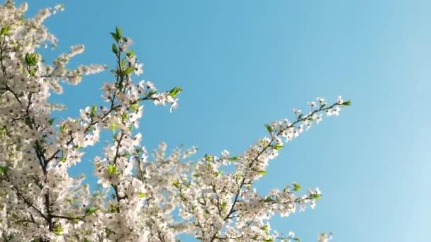 Třešňové květy a modrá obloha při západu slunce, květinové pozadí