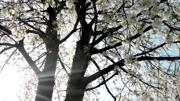 Cseresznyefa virág és kék ég naplementekor, virágos természet háttér