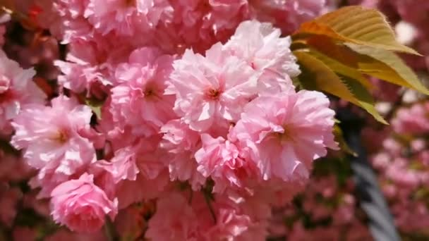 Closeup of Cherry Blossoms in the Wind