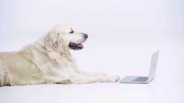 Niedlicher Golden Retriever liegt neben Laptop auf weißem Grund