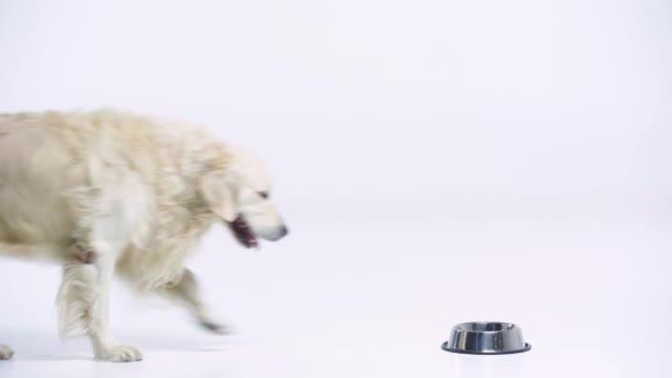 niedlichen Golden Retriever essen Tiernahrung auf weiß