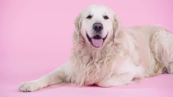 roztomilý a čistokrevný zlatý retrívr ležící na růžové