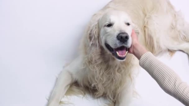 cropped view of woman touching golden retriever on white