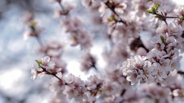 In the foreground is the cameras focus of blossoming cherry blossoms on a branch that sways due to the wind in the sunlight.
