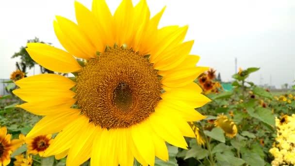 včelí med a slunečnicová pole 4k