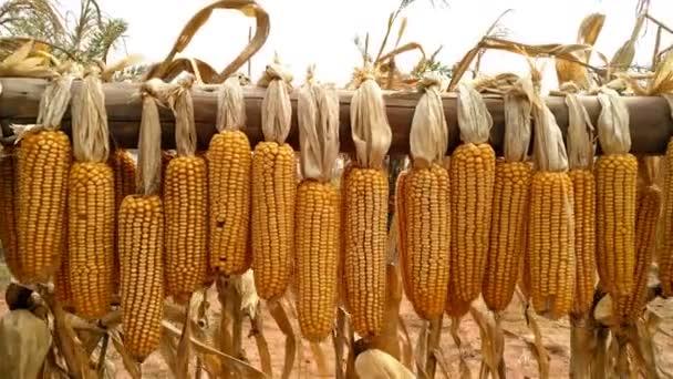 Posuňte pohled suché kukuřice visícího nad pole 4k