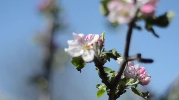 Větev jabloně kvete.