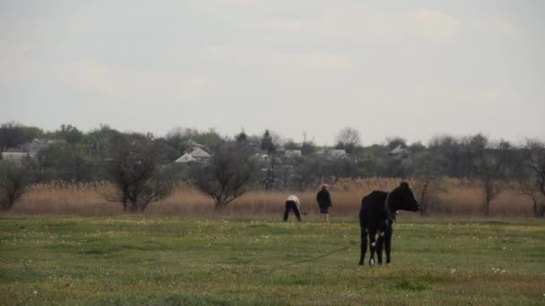 Egy tehén legel a tavaszi réten.