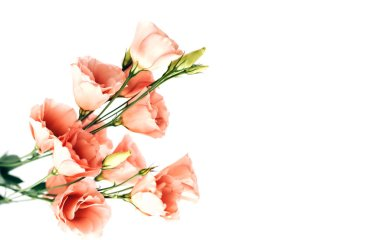 Bouquet of light pink flowers eustoma isolated on white background. stock vector