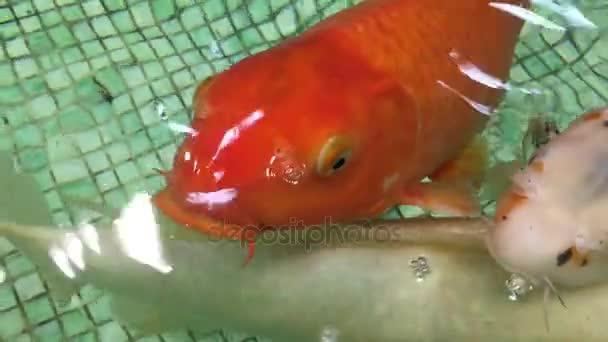 Kapr, koupání v akváriu