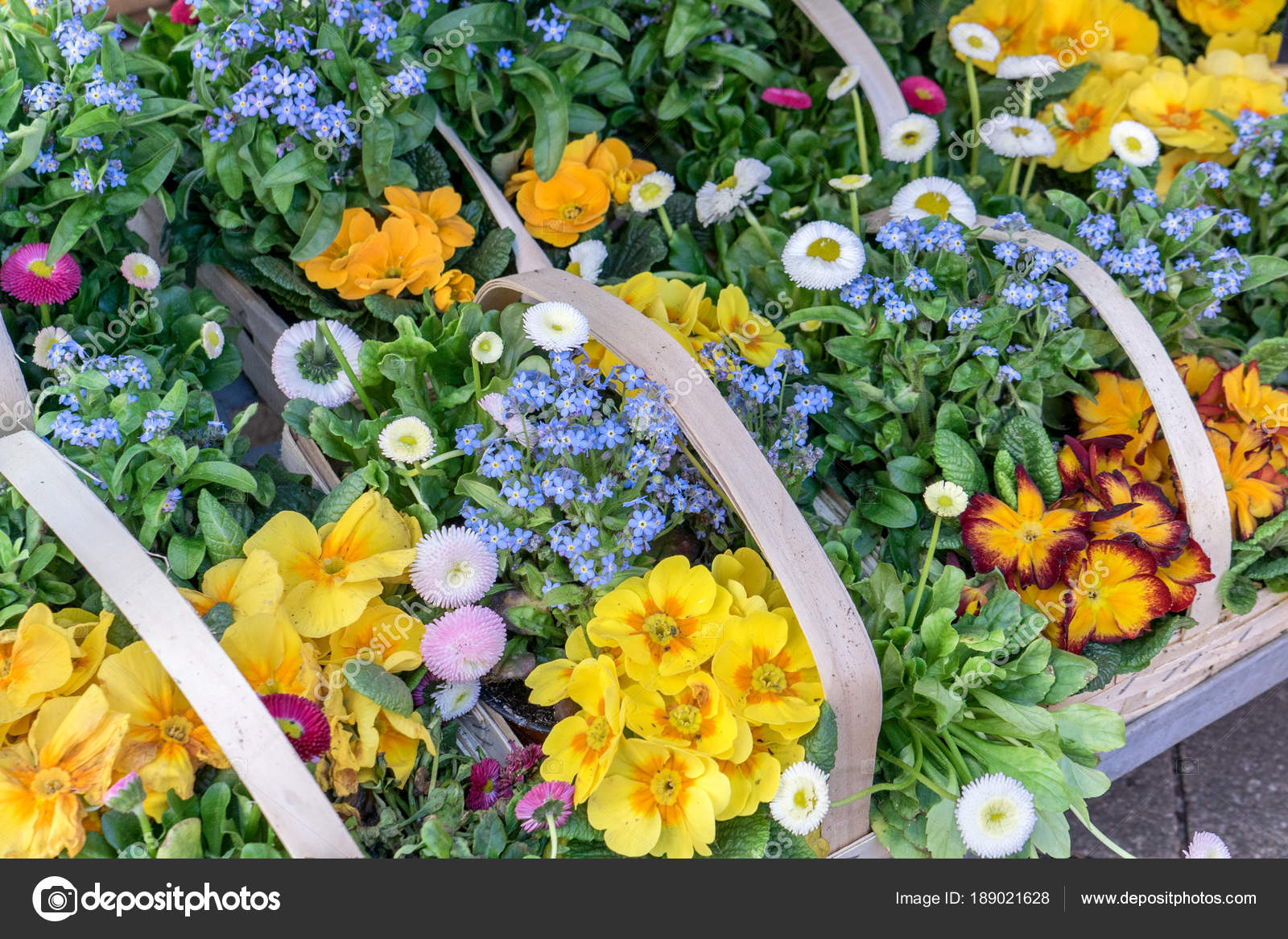 Colorful spring flowers baskets colorful primroses daisies forget colorful spring flowers baskets with colorful primroses daisies and forget me nots photo by coramueller mightylinksfo