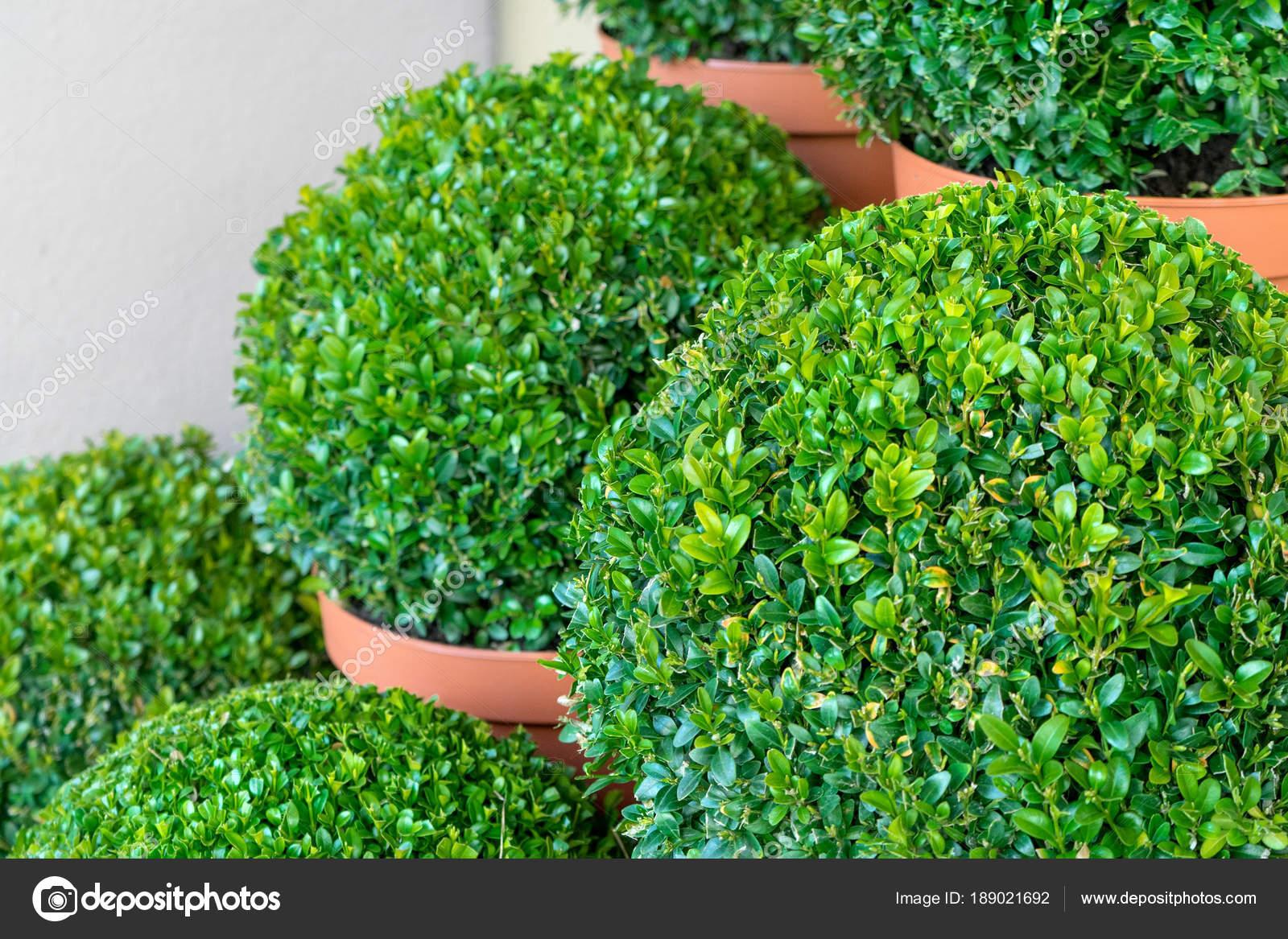 der form schneiden buchsbaum nahaufnahme von buchsbaum pflanzen