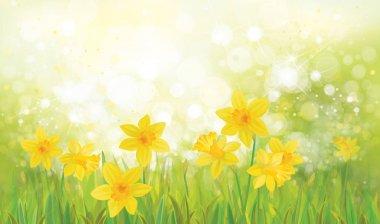 daffodil flowers background