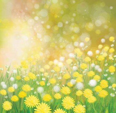 dandelion flowers field