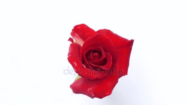 rote Rose rotieren auf weißem Hintergrund