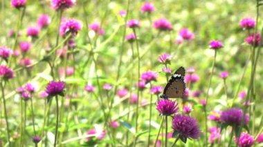 Butterfly on flowers slow motion