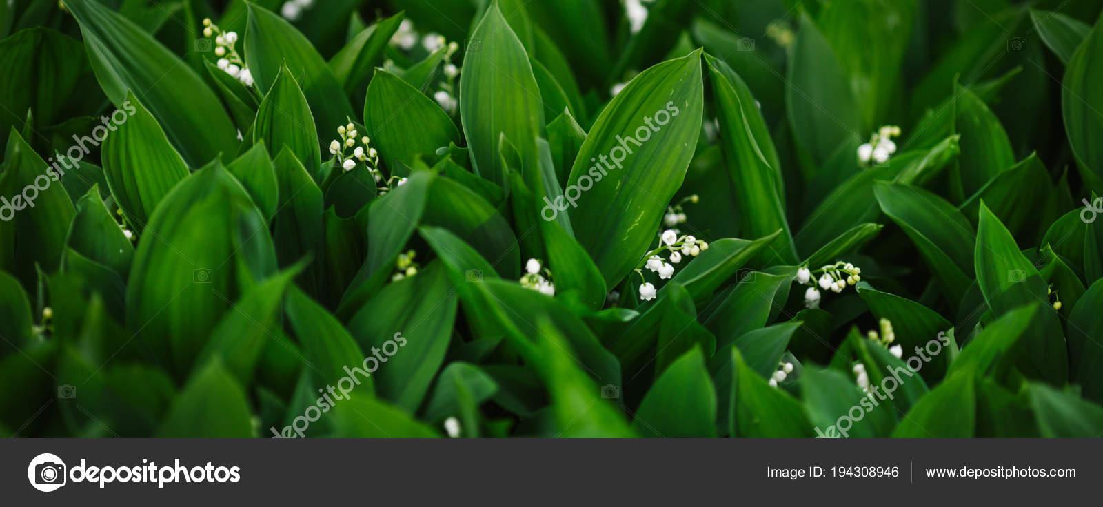 Plante Famille Des Liliacees Avec Larges Feuilles Fleurs Blanches