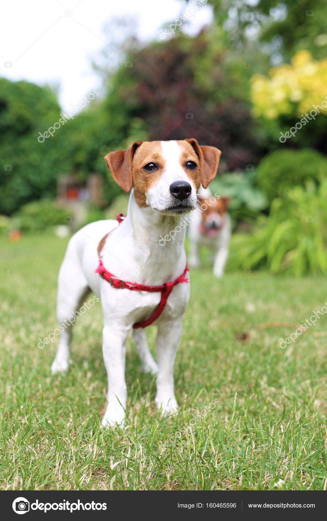 Chłodny Szczeniak. Jack russell terrier pies — Zdjęcie stockowe FH08