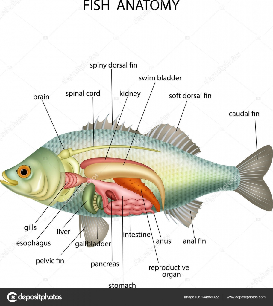 Anatomy of fish on white background — Stock Vector © tigatelu #134859322