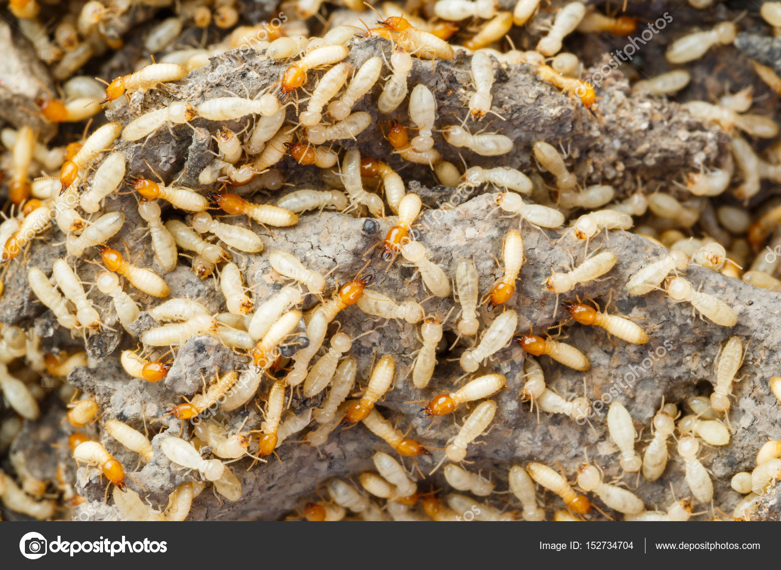 Close Termites White Ants Destroyed Stock Photo C Smuayc 152734704