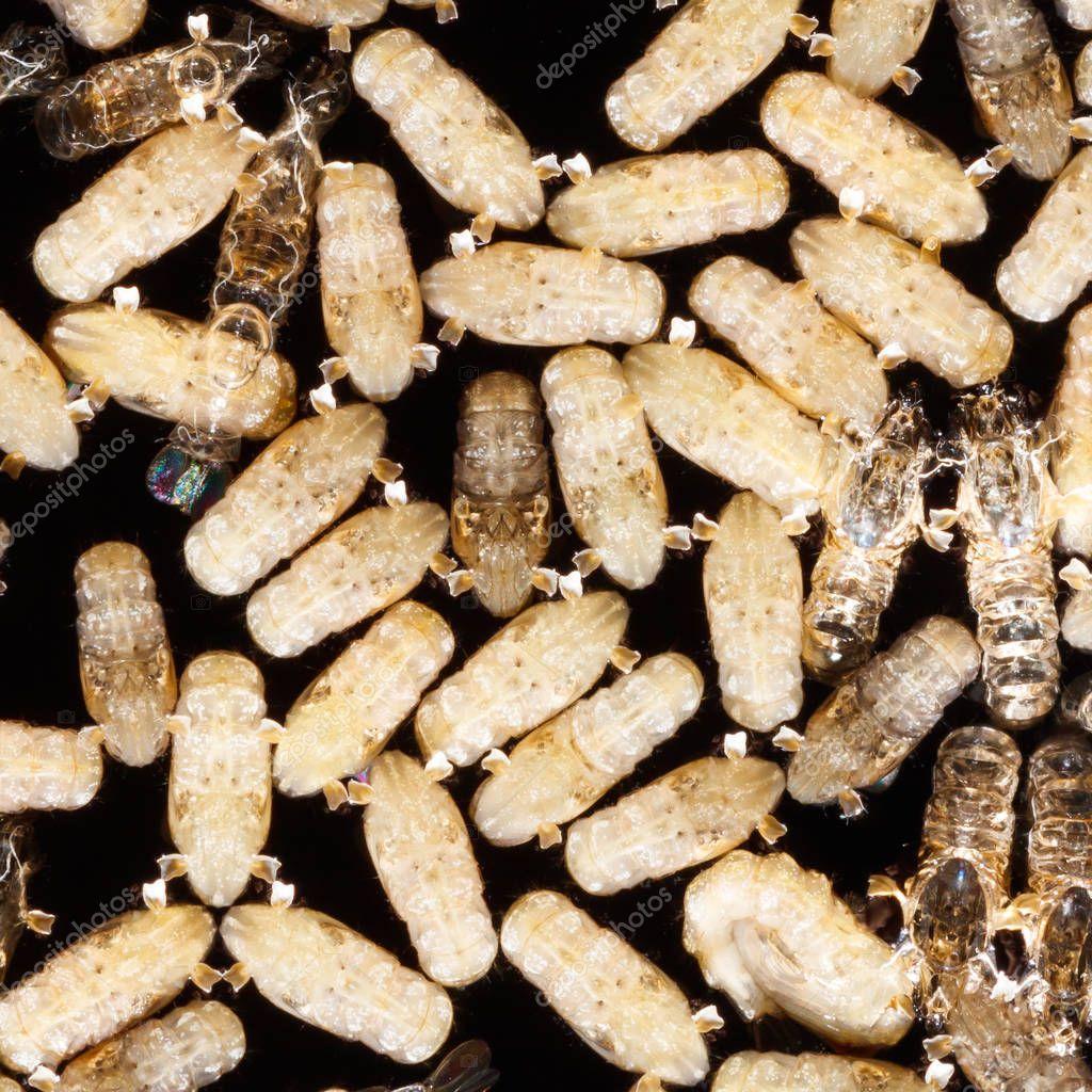 Anopheles dirus mosquito pupae
