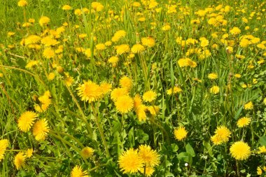 Dandelions in the spring meadow.