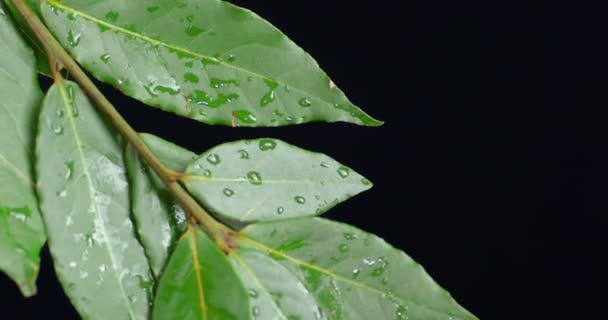 Branch of Bay leaf with water drops.