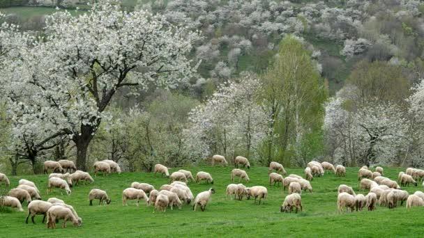 Schafherde weidet auf einer Wiese
