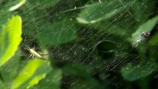 Kobylky v pavučina a spider