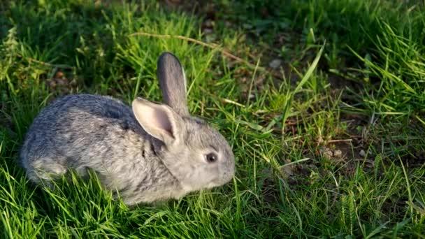 Šedý králík na trávě