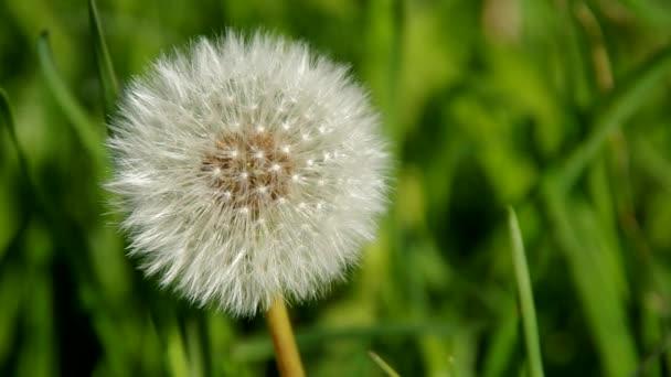 kvetoucí Pampeliška na jaře