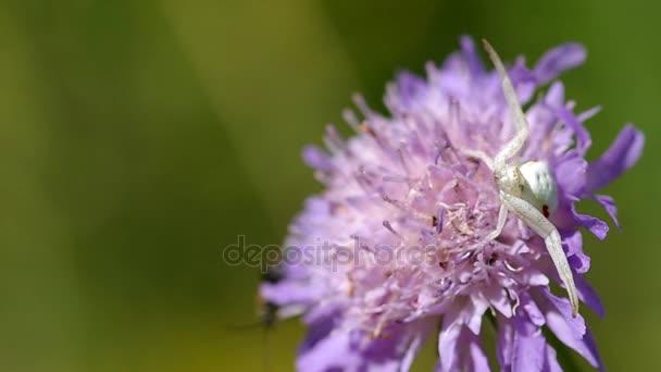 weiße Spinne auf Blume