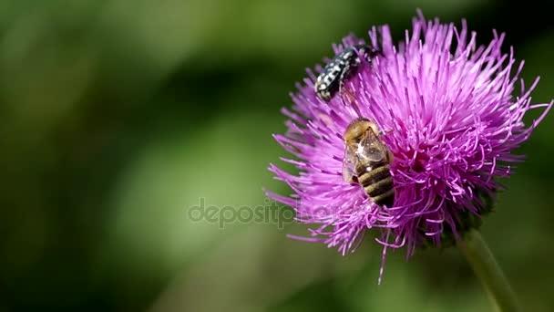 Méhek a virágzó bogáncs