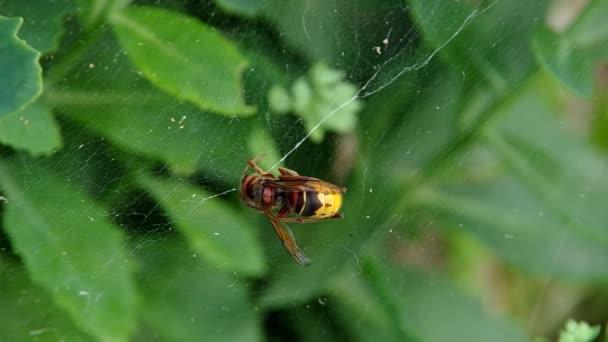 Hornissen im Spinnennetz