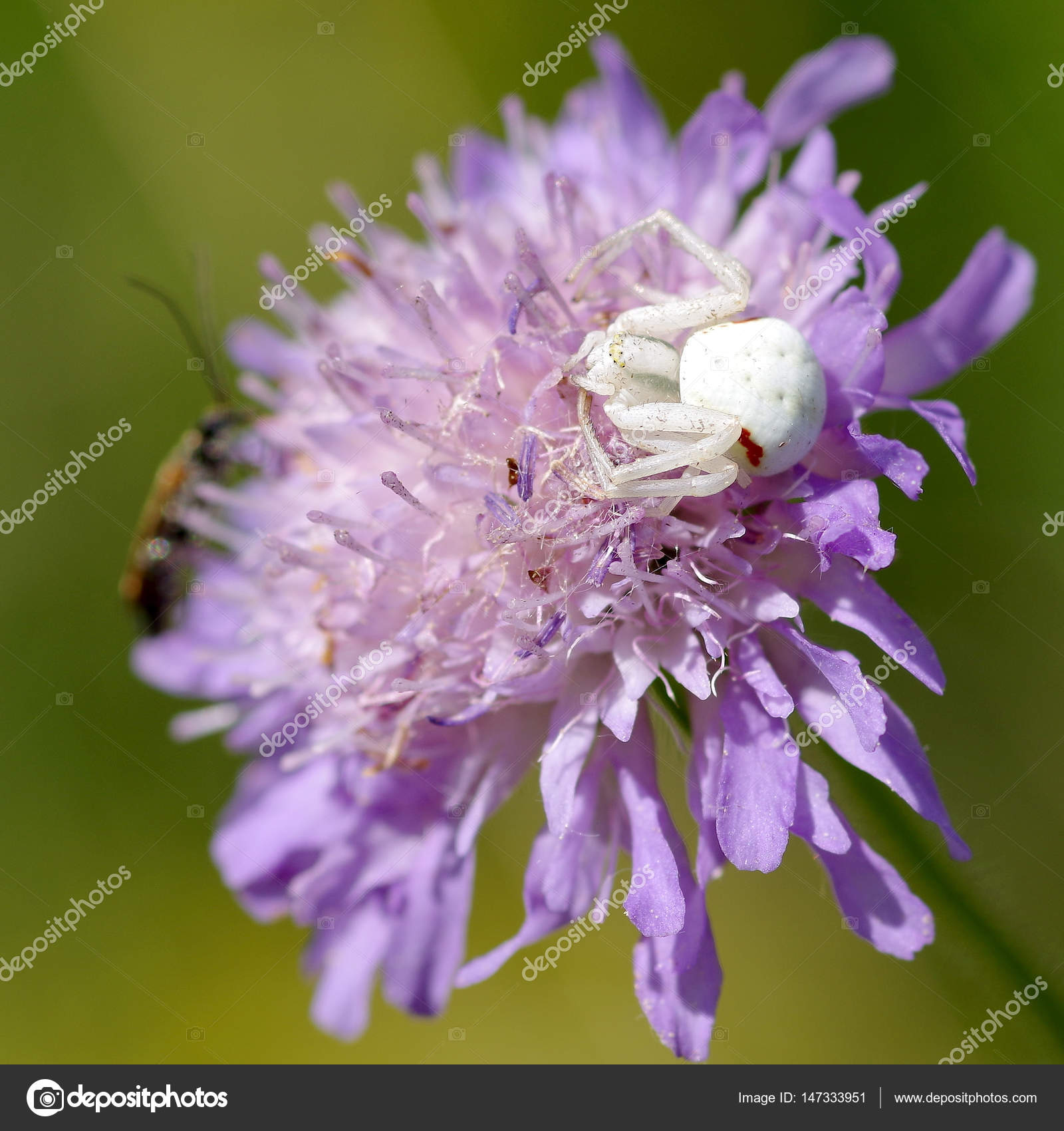 White Spider On Flower Stock Photo Ludovikus1 147333951