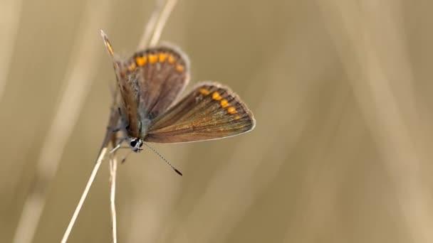 Közös kék pillangó (Polyommatus icarus)